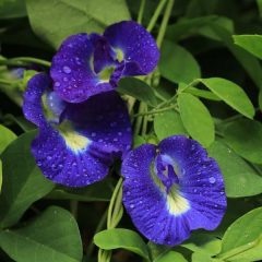 Butterfly pea simple flower