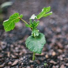 Okra green seedling