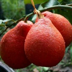 Pomelo red