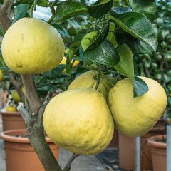 Pomelo yellow