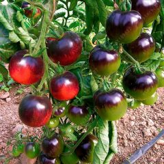 200-pcs-bag-tomato-red-black-cherry-tomato-plants-organic-fruit-vegetable-bonsai-potted-plant-for