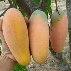 Pusat-Distributor-Grosir-Eceran-Jual-Bibit-Tanaman-Buah-Mangga-Kiojay-Langka-Murah-online-di-kota-kabupaten-3