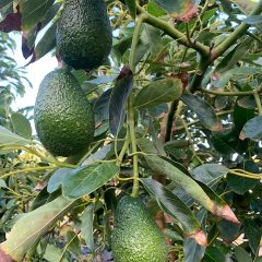 hassfruit