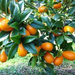 Nagami orange