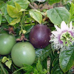 Passiflora_edulis-830×665