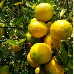 Lemon jumbo