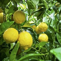 Lemon local