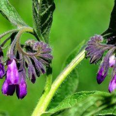 comfrey-herb-678×381