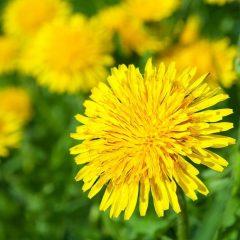 dandelions-1030×687
