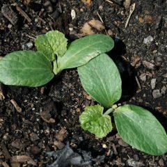 zucchini-seedling