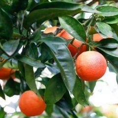 citrus-3-725×1088
