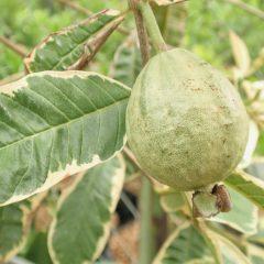 Pusat-Distributor-Grosir-Eceran-Jual-Bibit-Tanaman-Buah-Jambu-Biji-Variegata-Langka-Murah-online-di-kota-kabupaten2