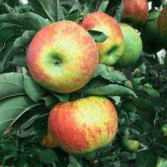 Wisata-Petik-Apel-Batu