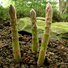 Asparagus-spears-in-spring2