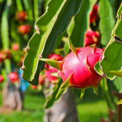Dragon-fruit-in-garden
