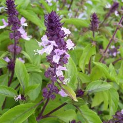 cinnamon-basil-ocimum-basilicum-cinnamon-beautiful-and-aromatic-with-its-red-stem-bright-green-leaves-and-purple-flowers-3_1800x1800